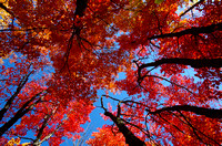 Canopy of Red