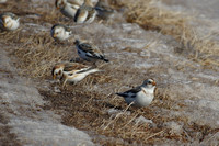 Hawk and Snow Buntings