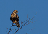 Northern Harrier - Proud Profile